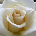 White Rose by Amy Fose
