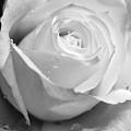 White Rose by Brian Roscorla