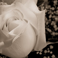 White Rose Bw Fine Art Photography Print by James BO Insogna