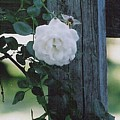 White Rose by Charles Robinson