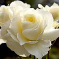 White Rose  by Dean Triolo