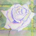White Rose by Debbie Lewis