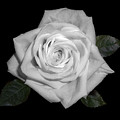 White Rose by Fabian G
