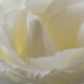 White Rose Impression  by Michelle  BarlondSmith
