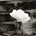 White Rose In Black And White by Bill Cannon