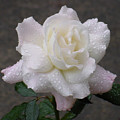 White Rose In Rain - 3 by Shirley Heyn