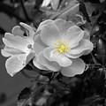 White Rose by Karen Lewis