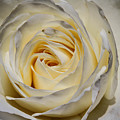 White Rose by Mary Ourada