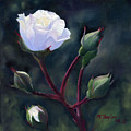 White Rose by Michael Taylor