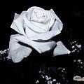 White Rose N Babies Breath by William Havle