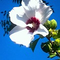 White Rose Of Sharon Hanging Out In The Sky by Debra Lynch