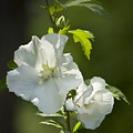 White Rose Of Sharon Squared by Teresa Mucha