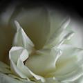 White Rose by Sally Engdahl