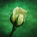 White Rose by Sandy Keeton