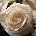 White Rose by Shawn Hughes
