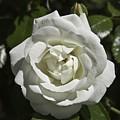 White Rose by Steve Kenney