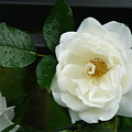 White Rose by Valerie Ornstein