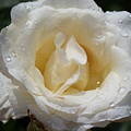 White Rose With Dew Drops by Ann O Connell