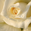 White Rose by Yedidya yos mizrachi