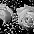 White Roses Bw Fine Art Photography Print by James BO  Insogna
