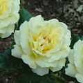White Roses by Kreative Minds Technology