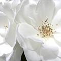 White Roses Macro by Jennie Marie Schell