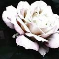 White Rose,stylization by Olga Lyakh