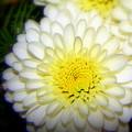 White Ruffles by Karen Cook