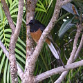 White Rumped Shama by Mary Deal