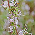 White Sage In Rancho Santa Ana Botanic Garden In Claremont-california  by Ruth Hager
