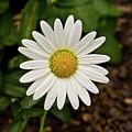 White Shasta Daisy In The Rain by Douglas Barnett
