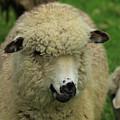 White Sheep by Robert Hamm