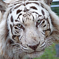 White Siberian Tiger by Kenneth Albin