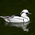 White Smew  Duck On Silver Pond by Douglas Barnett