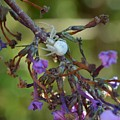 White Spider In Butterfly Bush by Manon Ramakers