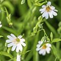 White Spring Flowers by Alex Konakov
