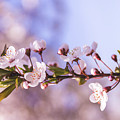White Spring Flowers by Thubakabra