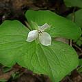 White Spring Trillium by Mike Eingle