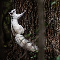 White Squirrel Brevard by Donnie Whitaker