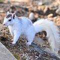 White Squirrel by John C Saponara Jr