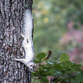 White Squirrel Pisgah Forest by Donnie Whitaker