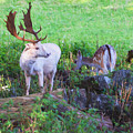 White Stag And Hind by Roy Pedersen
