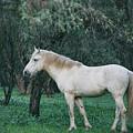 White Stallion In The Woods  by Saija Lehtonen