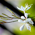 White Stem Flowers by Reva Steenbergen