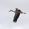 White Stork 2 by Jouko Lehto