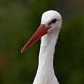 White Stork 5 by Jouko Lehto