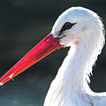 White Stork by Eyeshine Photography