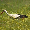 White Stork Looking For Frogs by Cliff Norton