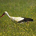 White Stork Looking Fr Frogs by Cliff Norton