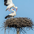 White Storks Of Fagagna 6 by Wolfgang Stocker